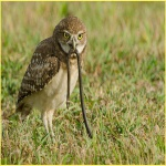 Burrowing Owl with Snake
