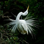 Ready to Mate Great Egret