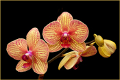 Red and Yellow Orchid